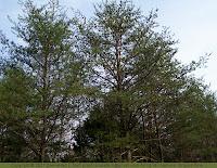 Virginia pine, scrub pine, Jersey pine