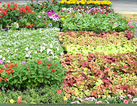 Flats of bedding plants