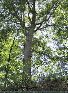 Beech tree on the bluffs of the Cumberland River