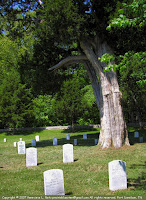 Large red cedar at Fort Donelson National Cemetery, Dover, TN