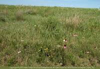 Purple coneflower and other prairie flowers