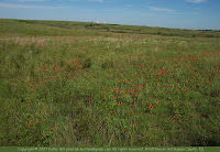 Flowers of the Kansas shortgrass prairie