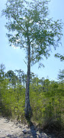 Bald cypress tree, tall and narrow