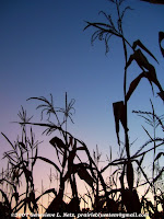 Cornstalks at sunset