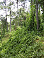 Kudzu at Natchez Trace State Park, Tennessee