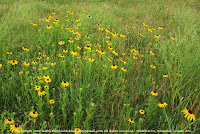 Wildflowers, Kingman County, KS