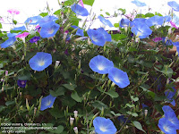 Morning glories in October sunshine