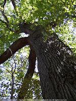 Bark of black oak