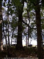 Big black oak tree