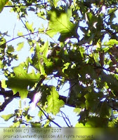 Black oak leaves (?)