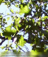 Black oak leaves (?)