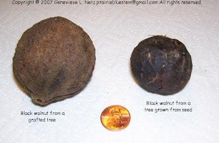 Tree Notes: Grafted black walnuts vs  seedlings