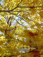 Yellow sugar maple leaves