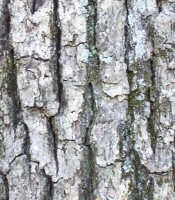 Bark of quercus alba