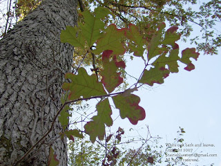 Quercus alba bark and leaves