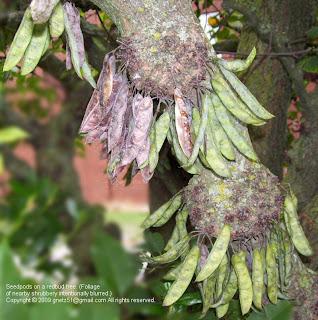 Tree Notes Redbud Pods Maturing