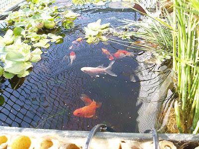 Mercedes ramos blog flores y peces for Estanque de agua para peces