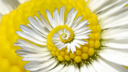 Recursive Daisy by gadl on Flickr