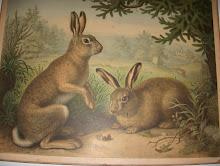 Gammal skolplansch  med kaniner