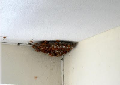 maurice pascal et moi c 39 est la chasse aux mouches jaunes. Black Bedroom Furniture Sets. Home Design Ideas