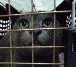 For Adoption : Richie (British Shorthair)