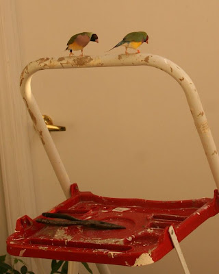 gouldian finches in indoor aviary