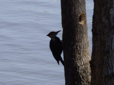 pileated woodpecker, Lake Gaston NC