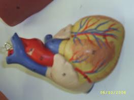 Vista morfologica del corazón