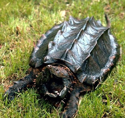 http://1.bp.blogspot.com/_2-rlqVEvjIk/S9pN89FREVI/AAAAAAAAAVM/jnxpfVnK_hk/s1600/alligator-snapping-turtle.jpg