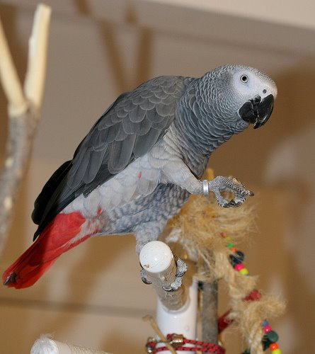 African Grey sau JAKO photo