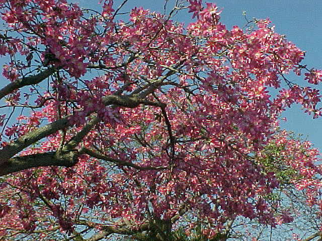 welcome to:: The Fabulous Silk Floss Tree