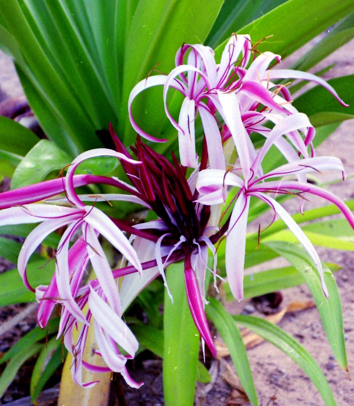 Lily Type Plants: Welcome To: