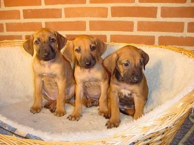 Dog Directory: 羅德西亞背脊犬 Rhodesian Ridgeback