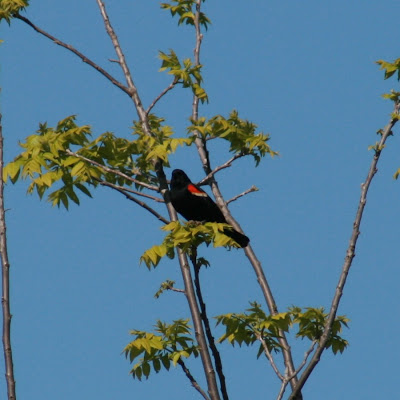 This Morning I Continued My Search For The Elusive Red Winged Blackbird Good Ole Agelaius Phoeniceus Walked Along An Old Trail Ve Been Down Before