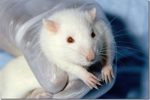 Animales albinos :Ratoncito