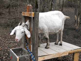 Dairy goat milking stands for your milking parlor from ...