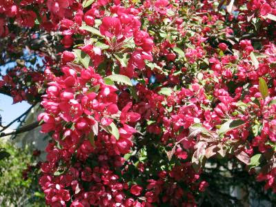 cherry tree blossom. cherry tree blossom.