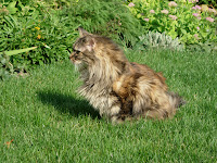 Long Haired Tabby in Yard