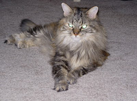 Chowder Long Haired Tabby Cat