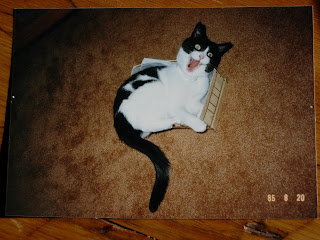 Crazy Black and White Cat Playing in Shoe Box