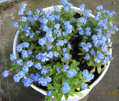 When We Lived In Natal And I Was Growing Herbs Wild Flowers Managed To Find Forget Me Nots They Are Low Very Often Have Pink