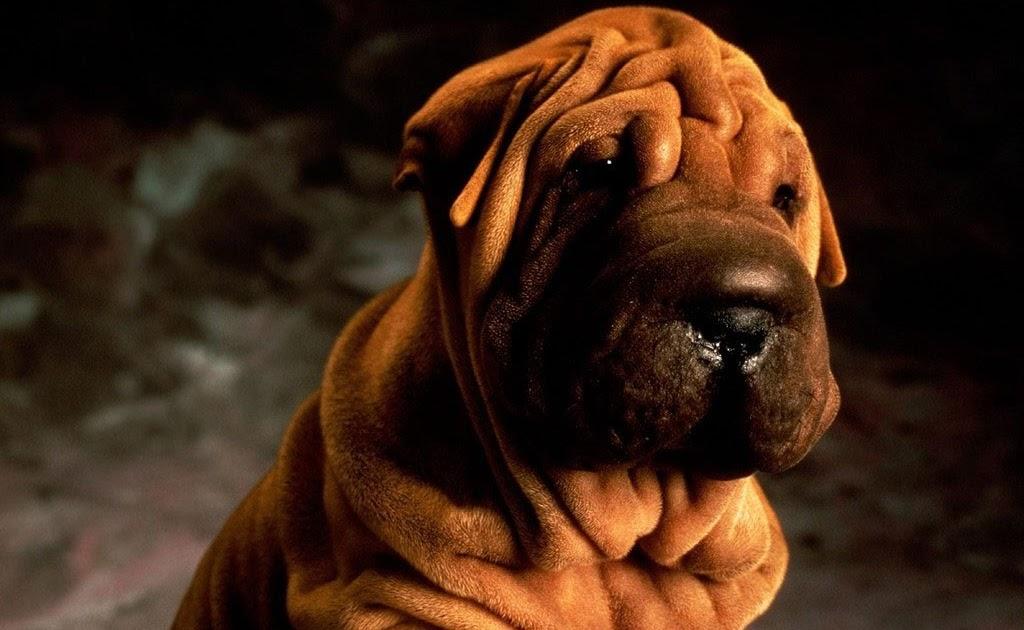 Shar Pei Towel Dog Eye Care Of Chinese Shar Pei