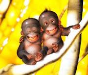 Monyet Tersenum