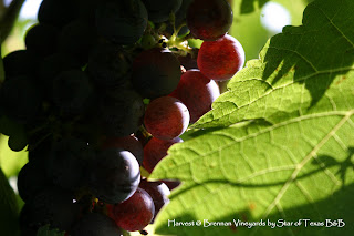 cluster of grapes hanging on vine