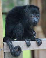 cute baby howler monkey