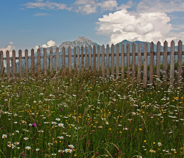 Wild flowers and Austrian Alps (at Ehrenberg Castle)