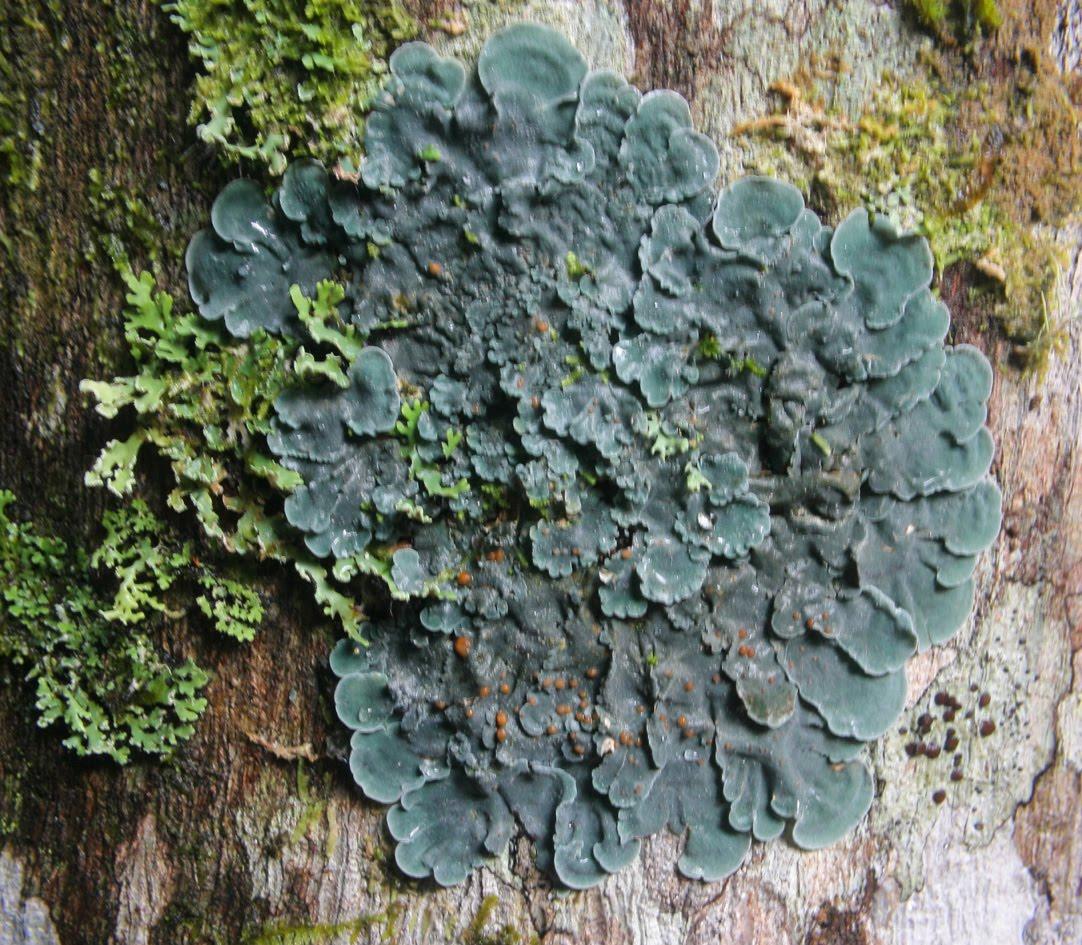 Toowoomba Plants: The Lichen Problem