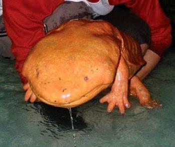 Riesiger chinesischer Salamander