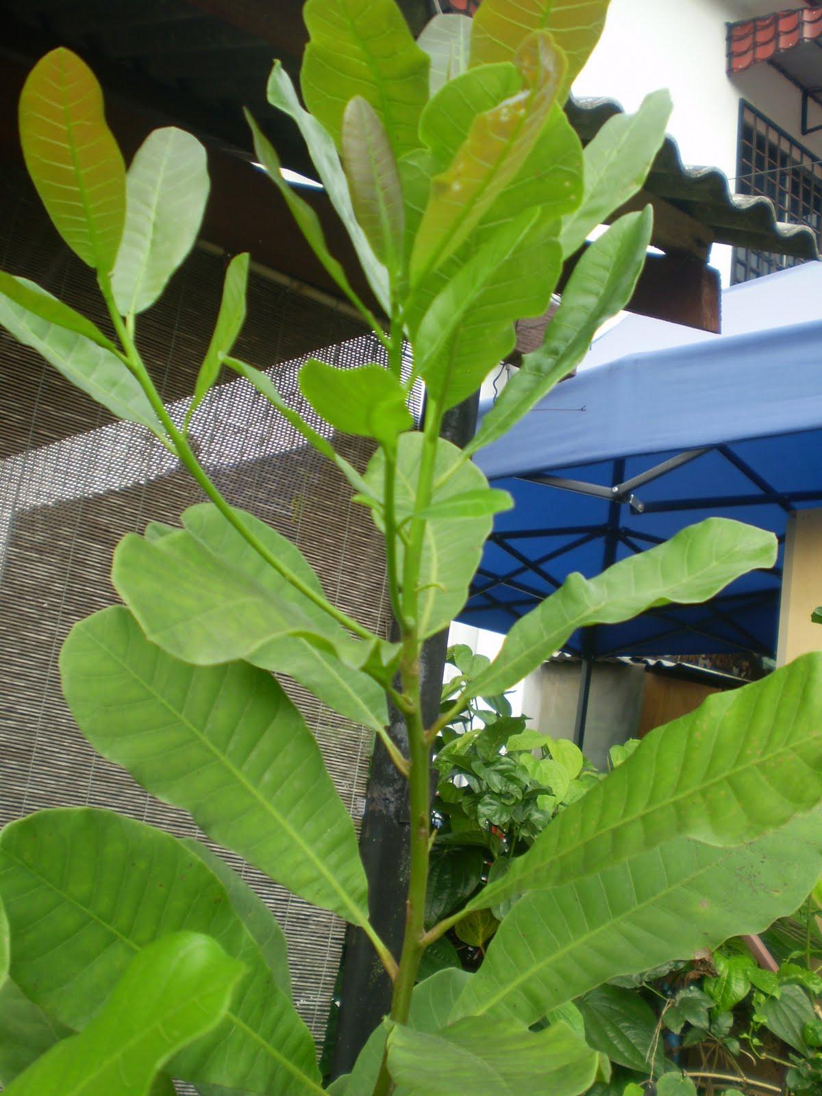 Go Right In My Garden Anacardium Occidentale Cashew Tree