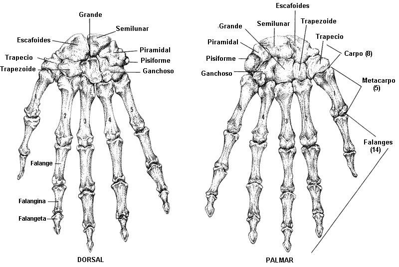 Anatomia Descriptiva: Mano y Muñeca